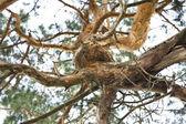 Branch pine — Stock Photo