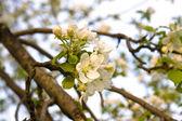 Cherry-blossom — Stock Photo
