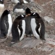 Stock Photo: Gentoo penguins