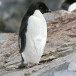 Adelie penguin — Stock Photo #2792864