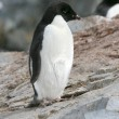 Stock Photo: Adelie penguin