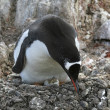Stock Photo: Gentoo penguin on its nest