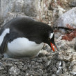 Gentoo penguin on its nest — Stock Photo