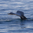 Stock Photo: Tail of humpback