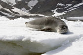 Leopard seal — Stock Photo