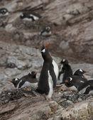 Gentoo penguin — Stock Photo