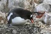 Gentoo penguin on its nest — Stock Photo