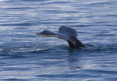 Tail of humpback — Stock Photo