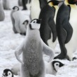 Stock Photo: Emperor penguin