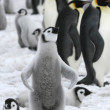 Stockfoto: Emperor penguin