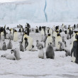 Emperor penguins — 图库照片