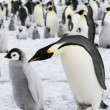 Emperor penguins — Stock Photo #2810250