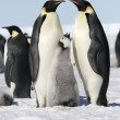 Emperor penguins — Stockfoto