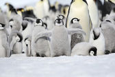 Emperor penguin chick — Stock Photo