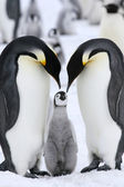 Kaiserpinguine — Stockfoto
