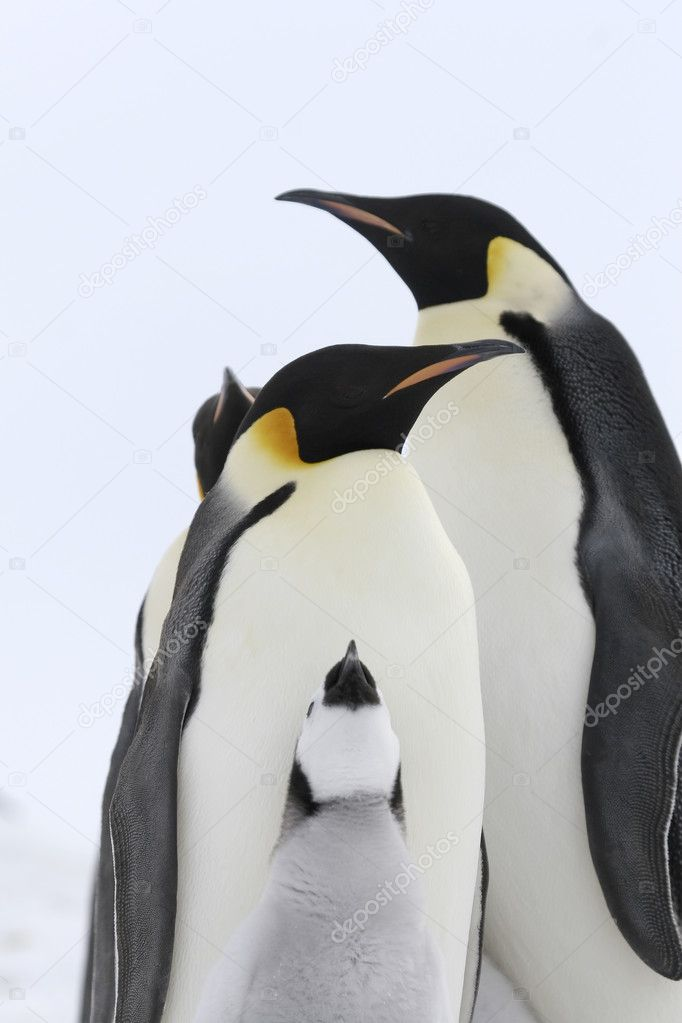 Emperor penguins (Aptenodytes forsteri) on the ice in the Weddell Sea, Antarctica  Stock Photo #2810323
