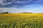 Campo amarelo com flores — Foto Stock