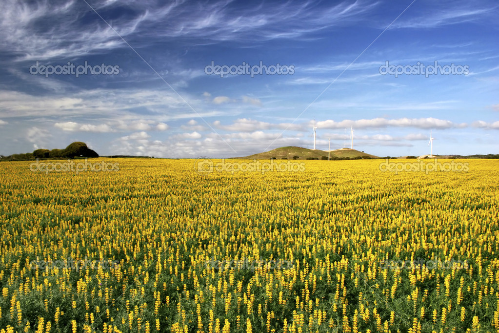 Yellow flowery landscape with a great ble cloudy sky  Stock Photo #4059992