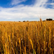 Yellow wheat field — Stock Photo #4293694