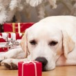 Christmas Dog — Foto de Stock