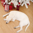 Christmas Dog — Foto Stock