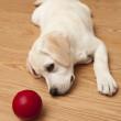 Labrador Puppy playing — Stock Photo #4938563