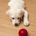 Labrador Puppy playing — Stock Photo #4938565