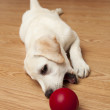 Labrador Puppy playing — Stock Photo #4938581