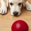 Labrador Puppy playing — Stock Photo