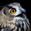 Beautiful Owl (taked at 1600 iso) — Stock Photo