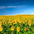 Stock Photo: Sunflowers meadow