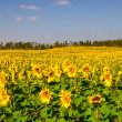 Sunflowers meadow — Stock Photo #4939756