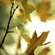 Fall leaves — Stock Photo #4939840