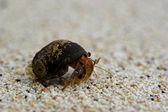 Hermit crab — Stock Photo