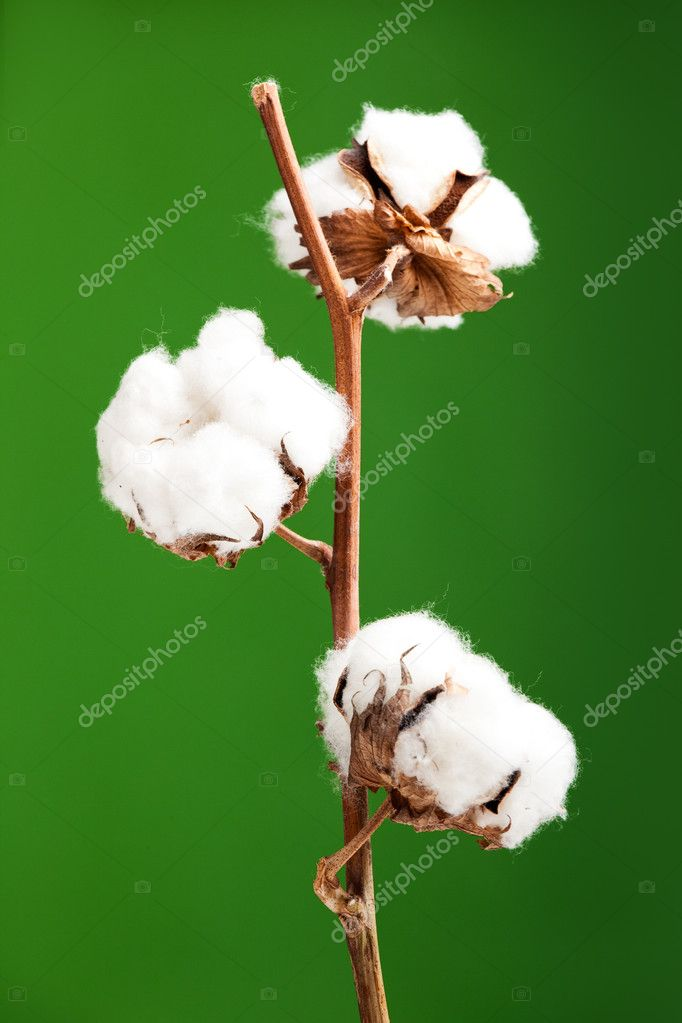 cotton plant chatrooms Harm reduction series hcsp fact series advocacy  listservs and chat rooms  cotton fever is caused by bacteria inside of the cotton and not by the cotton itself.