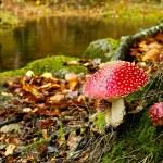 Amanita poisonous mushroom — Stock Photo #4940501