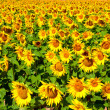 Sunflowers — Stock Photo #4941113