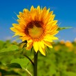 Sunflowers — Stock Photo #4941123