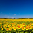 Sunflowers — Foto de Stock