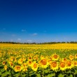 Sunflowers — Stockfoto