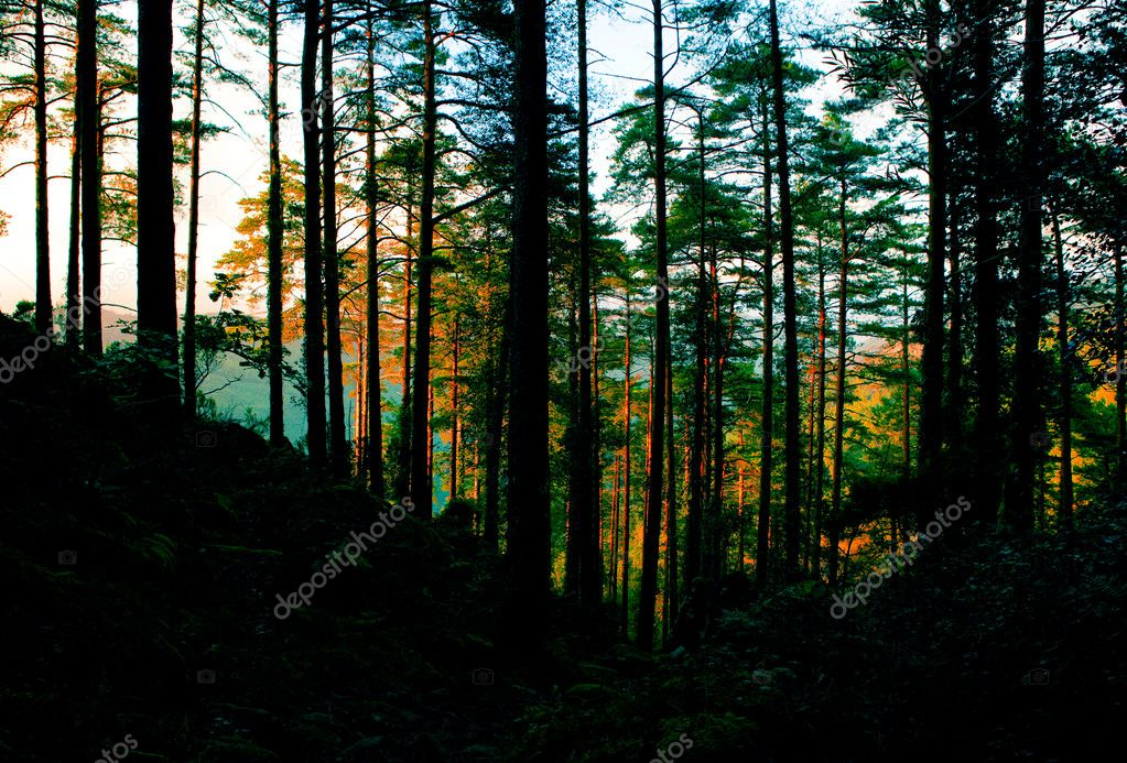Beautifful forest with high trees luminated by the sunset — Stock Photo #4940231
