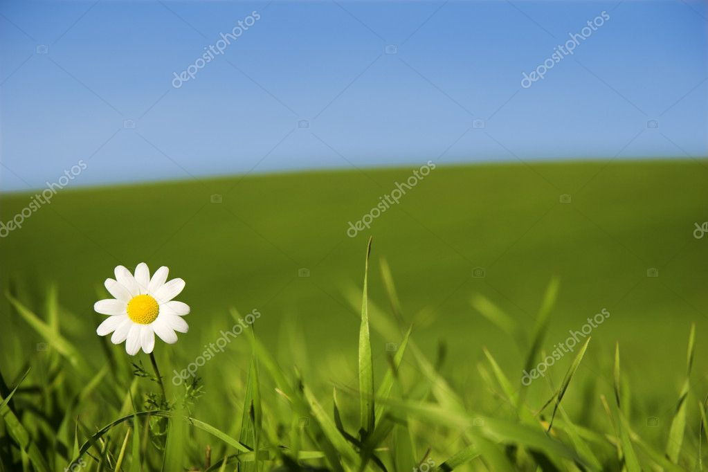 Beautiful white daisy on green meadow - (Focus is on the flower) — Stock Photo #4941009