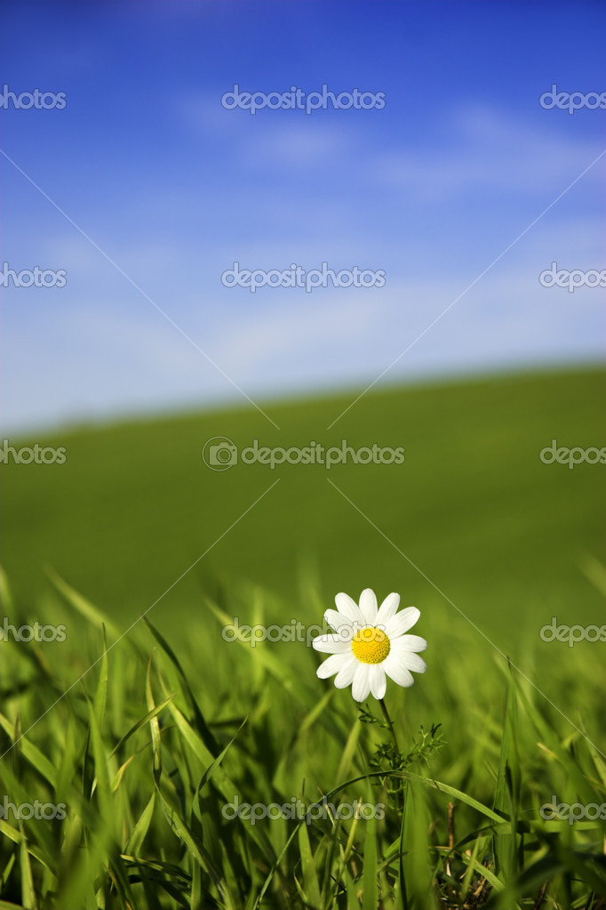 Beautiful white daisy on green meadow - (Focus is on the flower)  Stock Photo #4941010