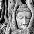 Buddha's head stuck in tree roots — Foto Stock