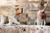 Monkey gå på ruinerna — Stockfoto
