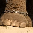 Elephant foot in chains — Stock Photo