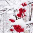Mountain ash — Stockfoto #2797907