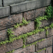 Fern breaking through the stone wall - Stock Photo