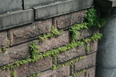 Fern breaking through the stone wall — Stock Photo