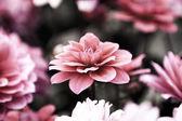 Blooming dahlia flowers — Stock Photo